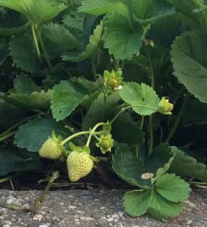 Aardbeien zijn lekker voor groot en klein!