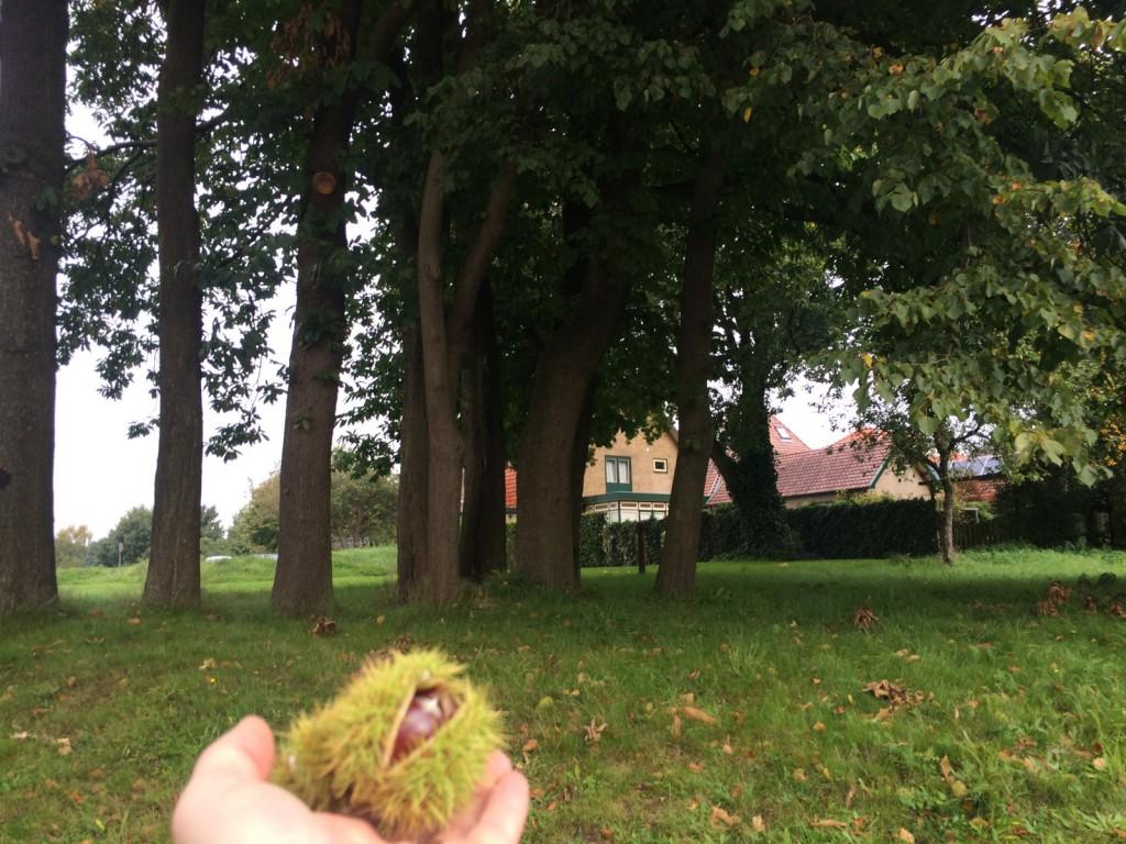 Kastanjebomen bij Chalonhof. Nu rijp!