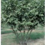 2015-12-04 11_06_52-2015_Nut_Cultivation_in_Netherlands_PPO_Wageningen_REPORT - PDF-XChange Editor