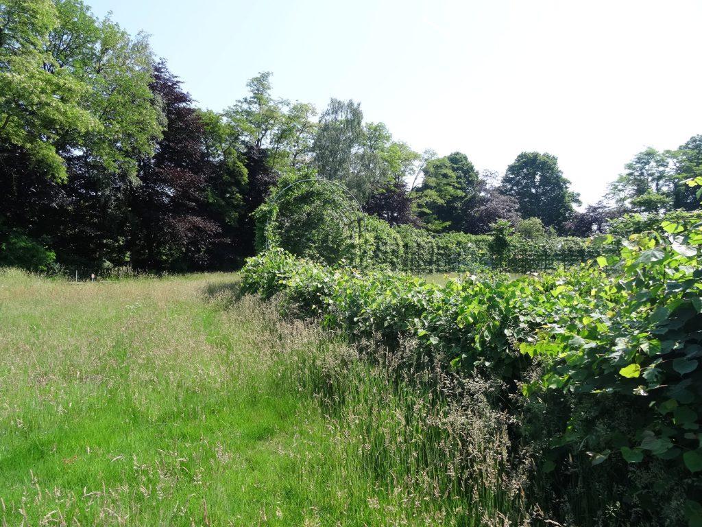 Lei/heg/tunnel-snoei is niet alleen sierlijk, maar geeft de boom een impuls om nieuw blad te produceren de hele zomer.