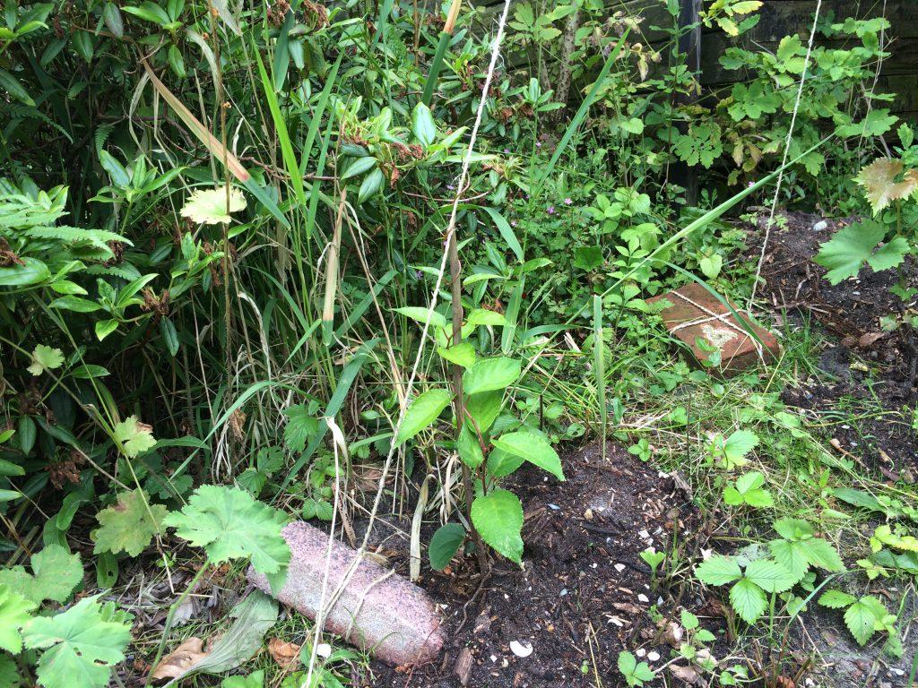 """Kiwibes Actinidia arguta van de ras """"Ken's Red"""". Het is een vrouwelijke plant die een mannelijke bestuiver nodig heeft. (Hebben we ook geplant - ras 'Weiki'.)"""