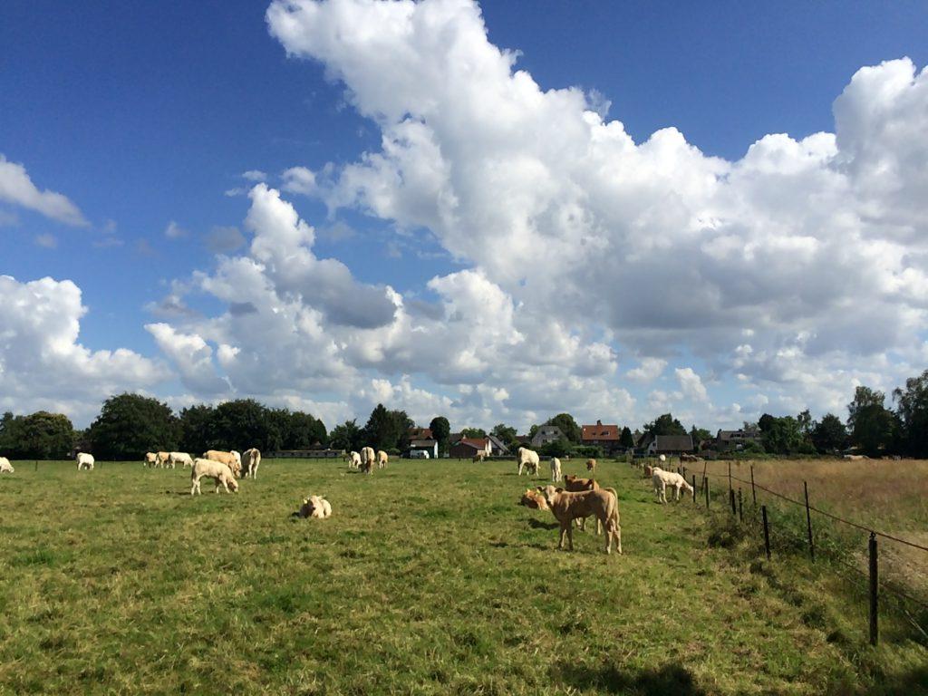 De koeien lopen op een weiland op de Jachthuislaan.