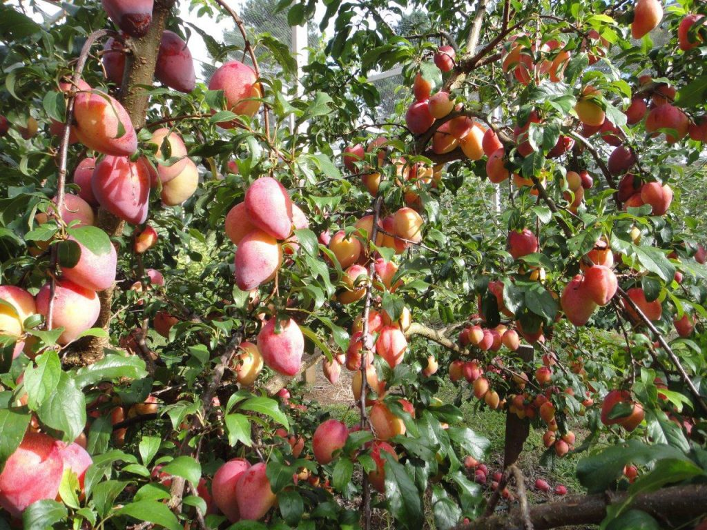 Te veel pruimen? - foto Prunus domestica 'Luisa' - Daleys Fruit