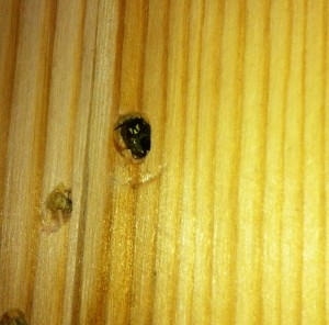 "Mother Bee laying eggs in one of the drilled holes in the bee hotel ""The Bund"".."