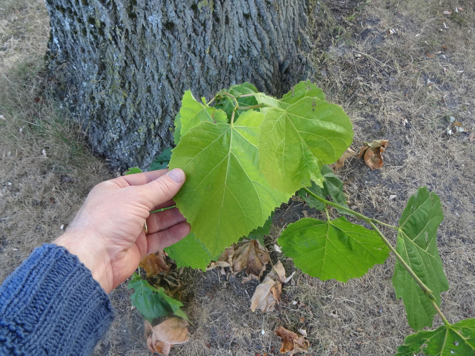 Leaves from root-shoots are very large. This is a great place to harvest new leaves all summer.