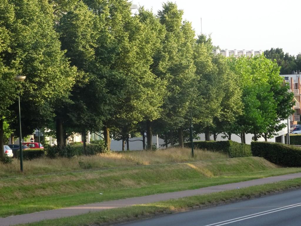 Lindebomen langs de Dalweg in Soest - mooie bomen met eetbaar blad en bloesem voor thee.