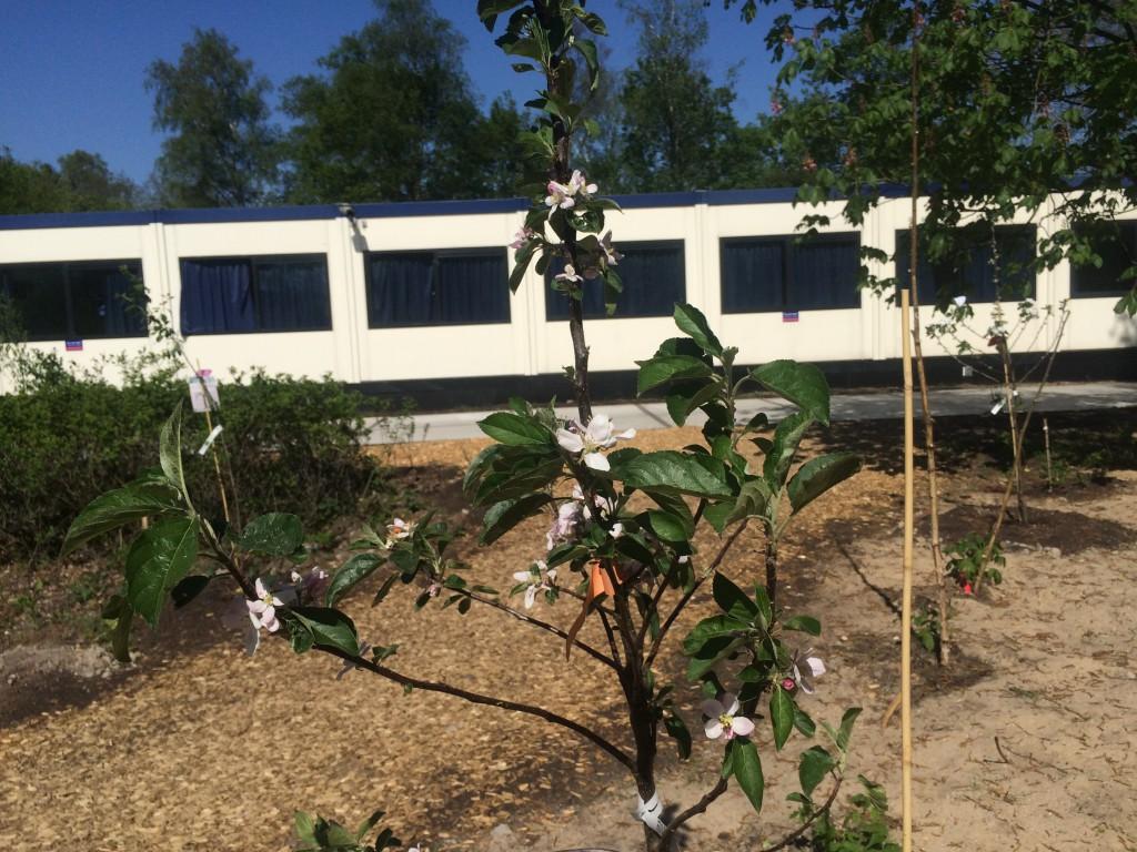 Appelbomen in bloei