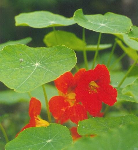 Oostindische Kers (trapoleum majus) is helemaal eetbaar - blad, bloem, zaad. Lekker vris en pittig!