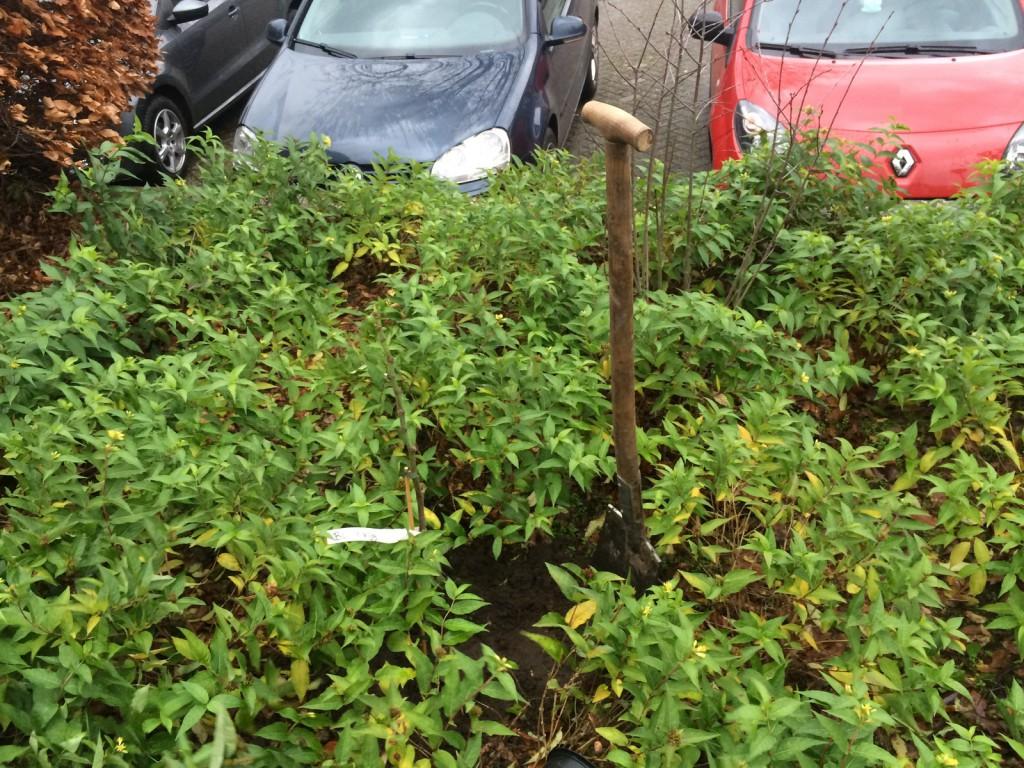 Vijgenboompje staat er - nu geduldig wachten op de oogst!
