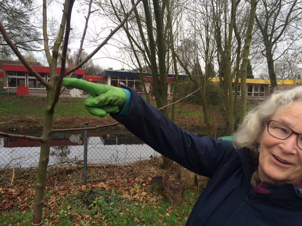 Beschadiging in het bast - Rode van Boskoop.