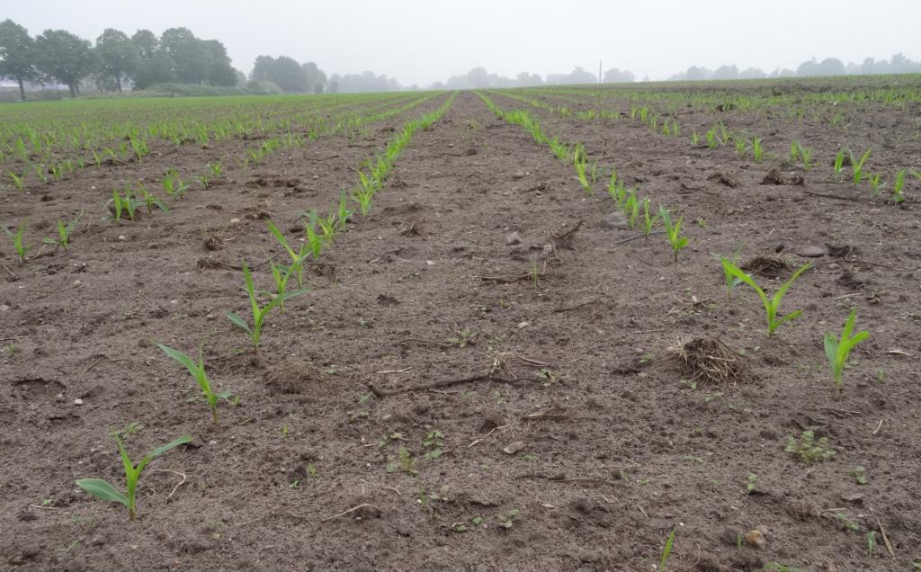Een probleem vandaag is dat er veel bestrijdingsmiddellen worden gebruikt. (De maiskorrel is gecoat met roze kleurstof en gif.) Dit is funest voor het bodemleven. (Foto op de Engh in Soest, 2016.)