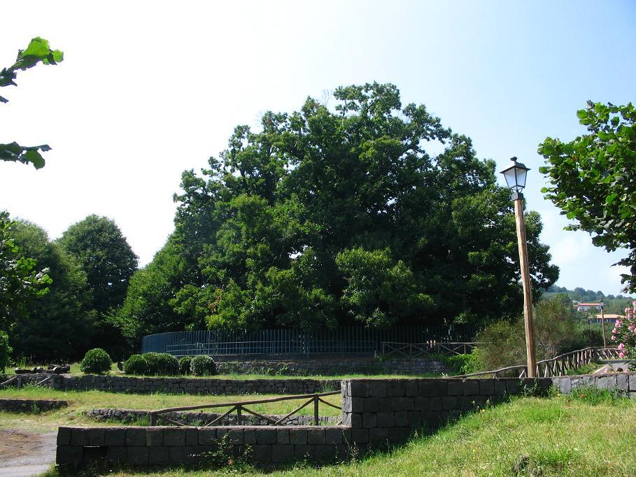 Oudste bekende kastanjeboom ter wereld - meer dan 2000 jaar oud.