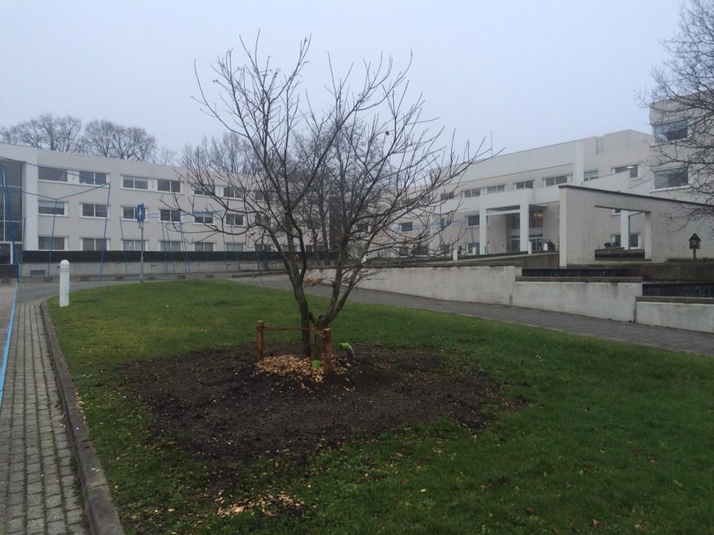 Mooi meerstammig kastanjeboom bij de oprit voor het gemeentehuis.