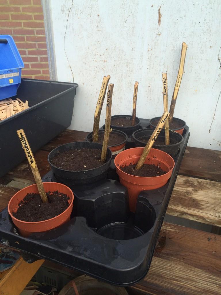Meerjarige groenten in potten om groot te worden voor uitplanten.