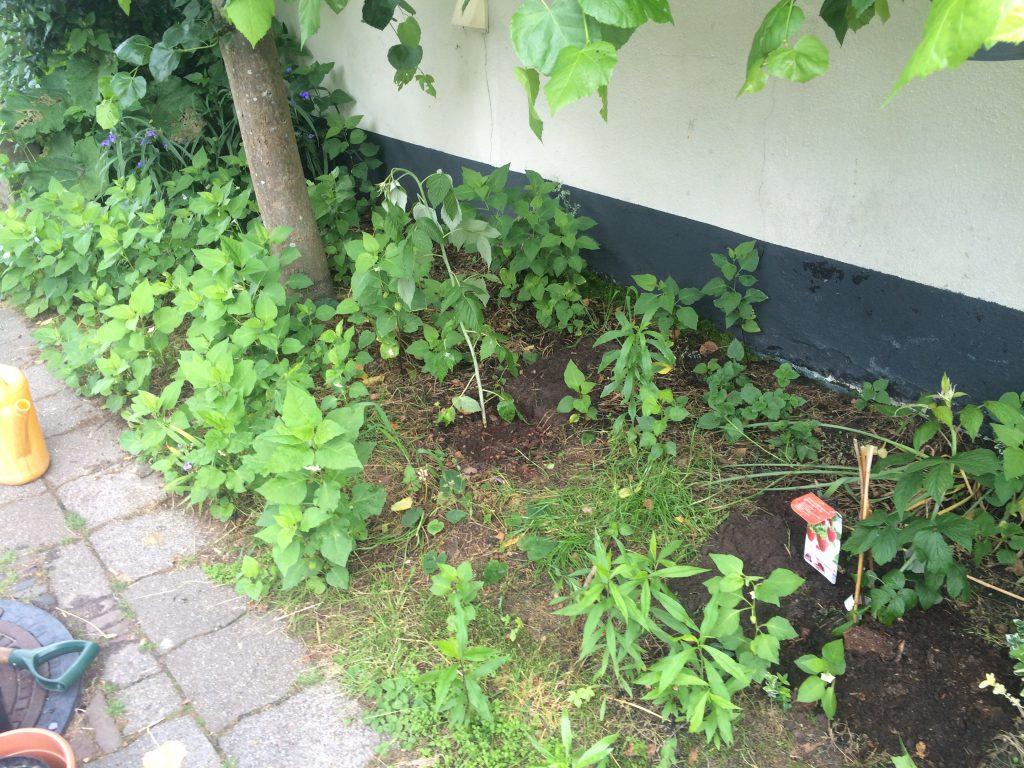 Frambozen - Rubus ideaus. Twee onbekende rassen van de tuinen van Matthijs en Goran. Één bekend - ´Hefa Herfsternte´ - geeft fruit in het najaar.