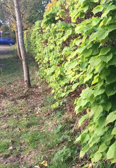 Slaboom in november (winterlinde) - heerlijk vers blad als je op tijd snoeit!